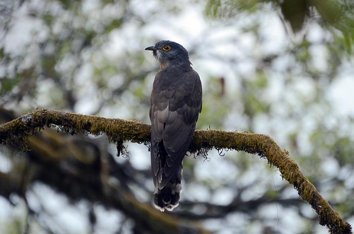 பெரிய அக்கா குயில் (Large Hawk-Cuckoo Hierococcyx sparverioides)