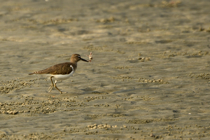 மண்கொத்தி (Common Sandpiper Actitis hypoleucos)