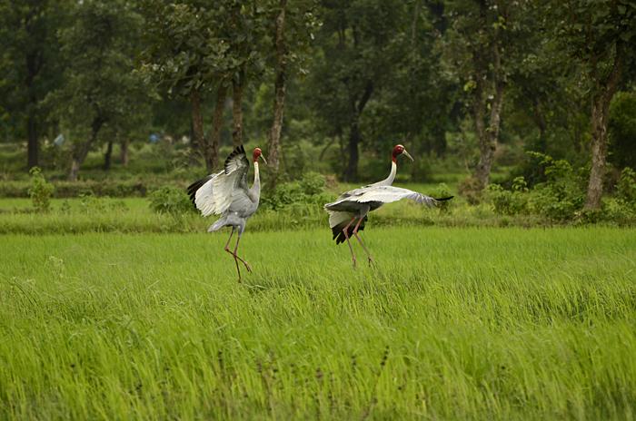 சாரஸ் பெருங்கொக்கு (Sarus Crane Grus antigone)