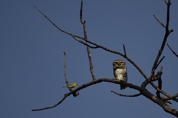 காட்டுச் சிறு ஆந்தை (Forest Owlet Heteroglaux blewitti) ஐப்  பார்த்துக் கத்தும் வெள்ளைக் கண்ணி (Oriental white-eye Zosterops palpebrosus)