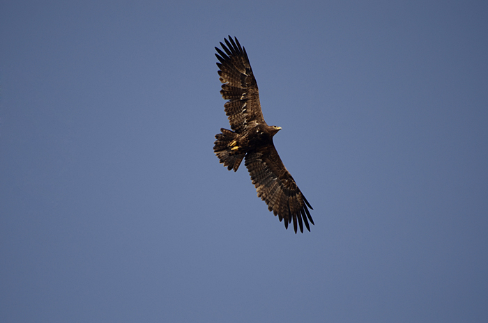புல்வெளிக் கழுகு Steppe Eagle Aquila nipalensis