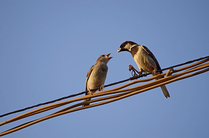 சிட்டுக்குருவிகள் (House Sparrow Passer domesticus)