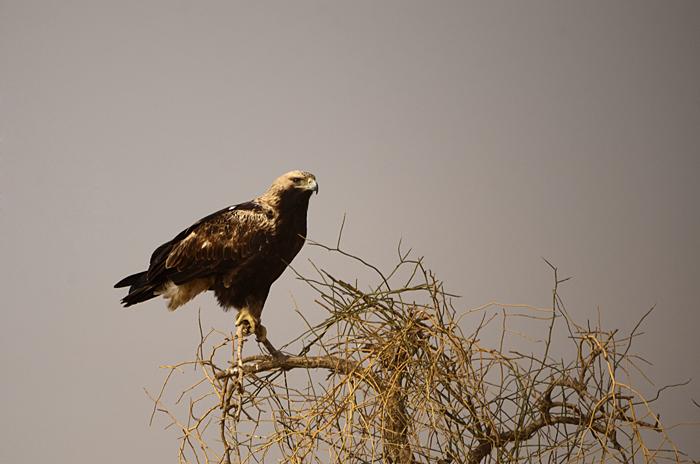 அரசக் கழுகு (Eastern Imperial Eagle Aquila heliaca)
