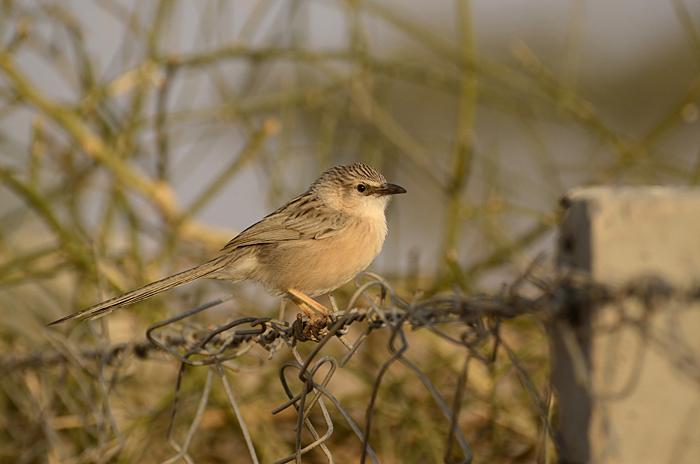 பாலை சிலம்பன் (Common Babbler Turdoises caudata)