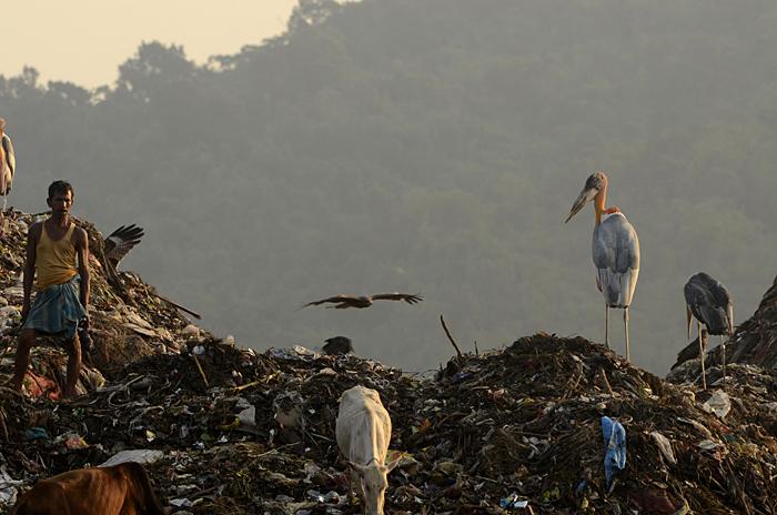 பெரிய போதா நாரை (Greater Adjutant Stork Leptoptilos dubius)