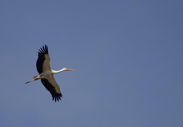 செங்கால் நாரை (White Stork Ciconia ciconia)