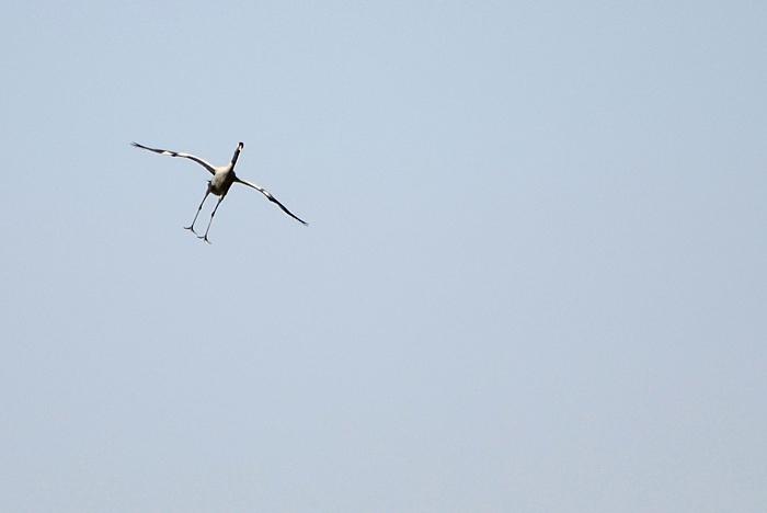 யூரெசிய பெருங்கொக்கு (Common Crane Grus grus)