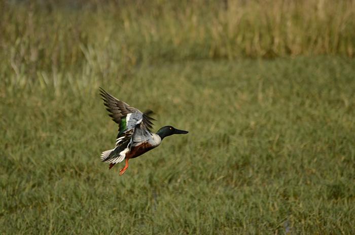 ஆண்டிவாத்து (Northern Shoveler Anas clypeata)