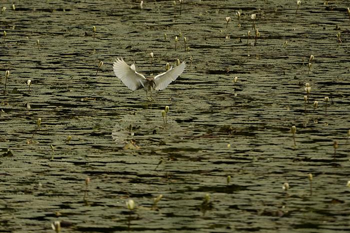 மடையான் Indian pond heron