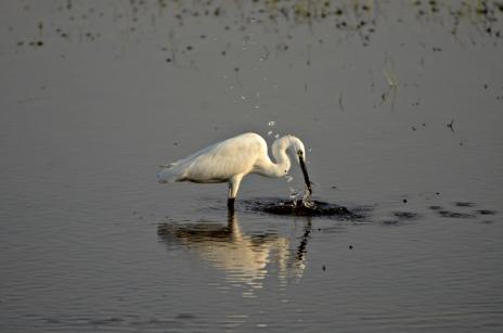 மார்ச் - சின்னக் கொக்கு (Little Egret). கரூரில் பார்த்தது. நீரில் இருந்த எதோ ஒரு சிறு உயிரினத்தை குத்திப் பிடித்த போது எடுத்த படம்.